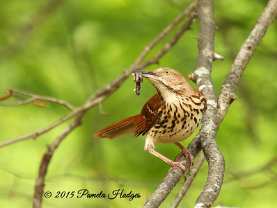 Brown Thrasher 1I9B8063