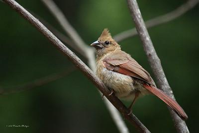 Immature Cardinal Cr Z