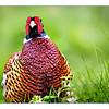 12 Pheasant