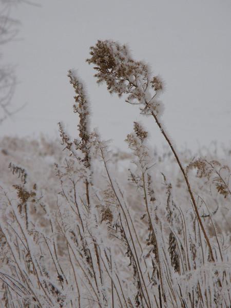Winter Weeds 6333