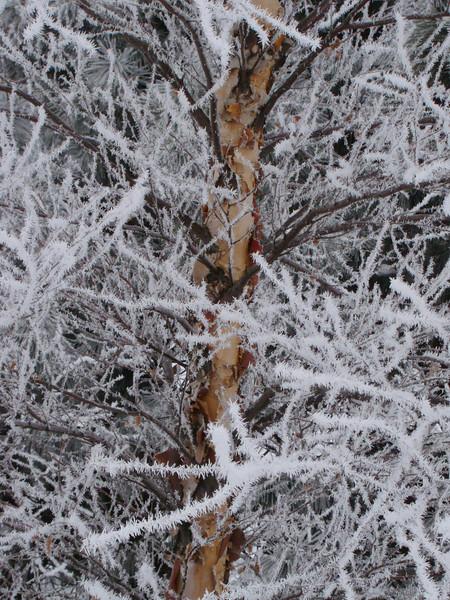 Winter Birch 6221