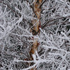 Winter Birch 6221