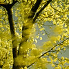 Pear Tree 1758