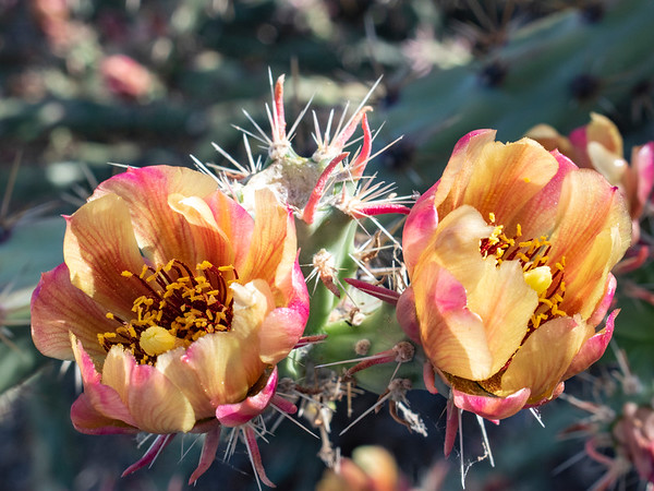 Two Cactus Blooms