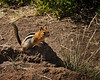 Golden Mantel Ground Squirrel