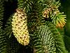 Spruce Cone-Fred Fost