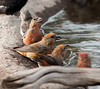 Crossbills having a chat at the watering hole. Cabin Lake Guard Cabin, Oregon. Photo by Gary Miller