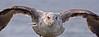 Gull Attack - Jack Walker