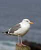 Coastal Gull - Jack Walker