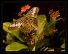 SAPC_OutingPrvw_Butterfly_LindaZ_699