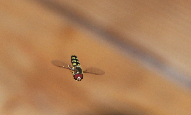 135.0mm, 1/200s, f/5.6, ISO 1600 from Marty Porter; Sweat Bee (cropped)