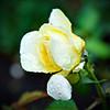 A Rose Drop