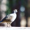 Quail on a Rail