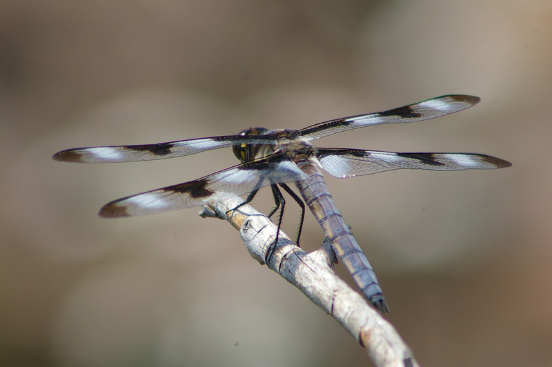 Twelve spotted skimmer male on a perch.