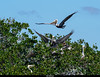 Brown Pelican 2