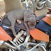 """Our 2-month-old Miami Blue pitbull sitting on my KTM 450 EXC."" - Jeff Dennis of McDonough, Ga."