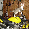 """""""My cat, Teddy, taking my Honda 599 for a ride."""" - Mike Himes of Plainfield, Ill."""