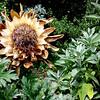 Artichoke-flower-20160719_143312
