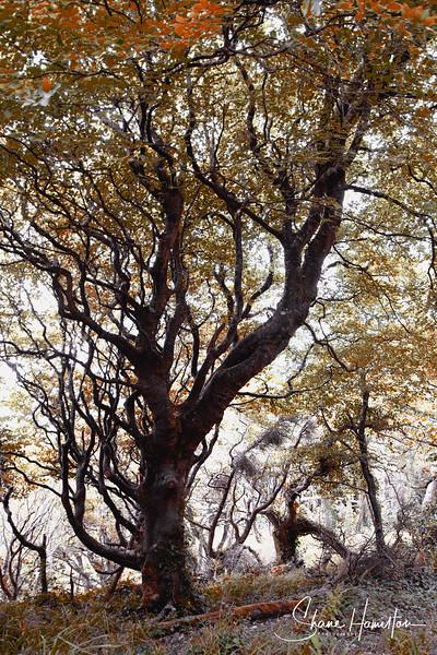 Foyne Tree