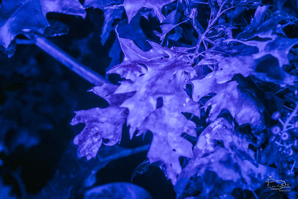 To my eyes, the black light showed a distinct brownish tinge on the surface of the leaf.  Lightroom tells me there is only blue and purple there, no red, orange or yellow.