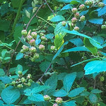 Berries going into the reddish phase