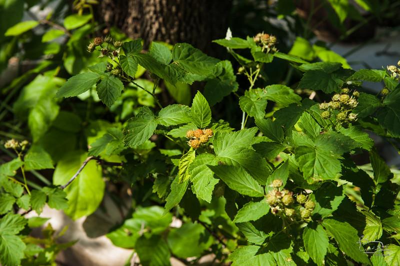 good crop of black raspberries