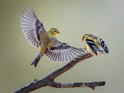 Greedy Gold Finch