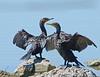 Olivaceous Cormorants on Coffeyville Rock   Dean Foy