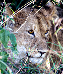 Lioness of the Masai Mara