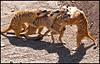 Meercat sports