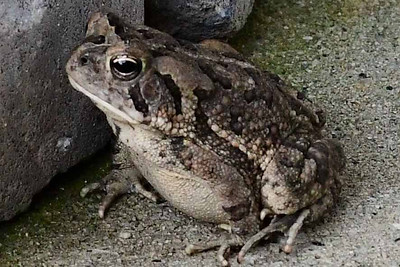 Resident Frog
