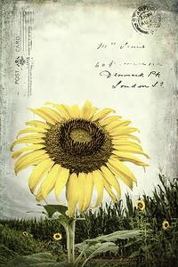 Sending Sunflowers