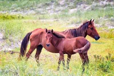 Wild Horses in Outer Banks