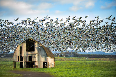 Snow Goose and Barn