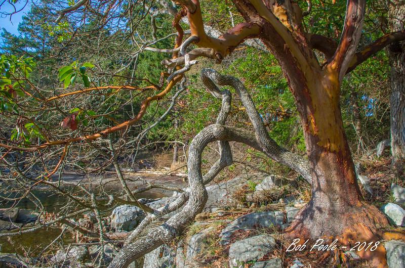 Arbutus and Oak