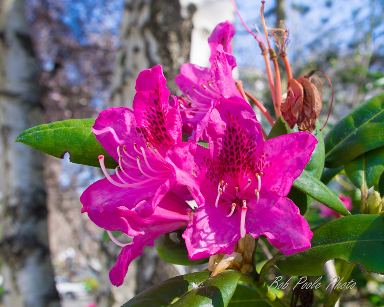 Rhododendrens, Victoria, 2018