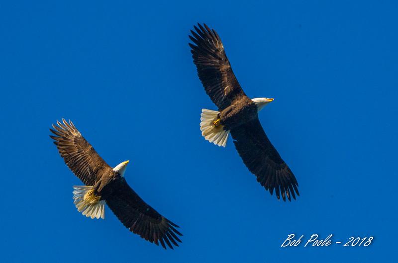Bald Eagles, adults