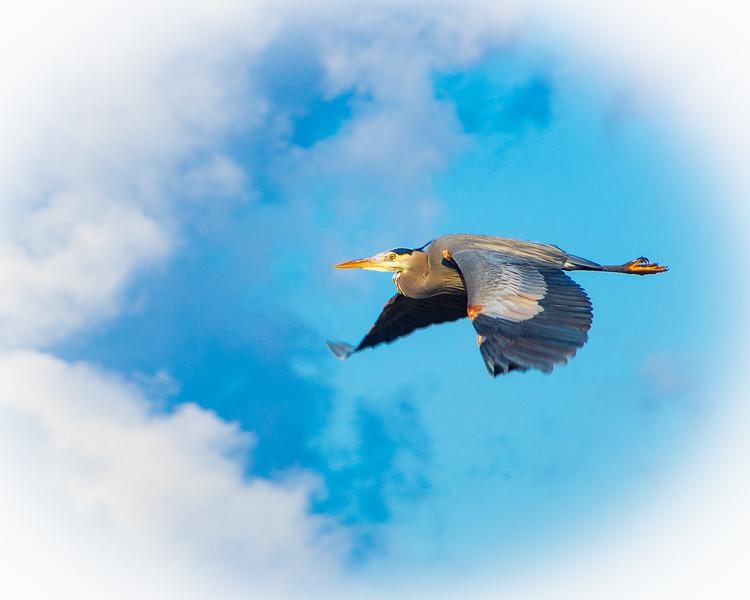 Gret Blue Heron