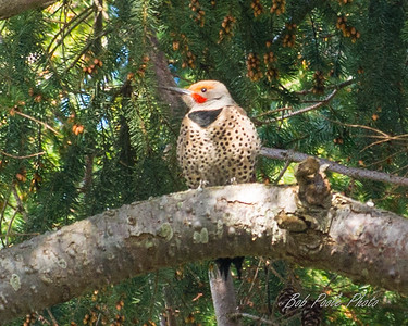 Flicker Woodpecker