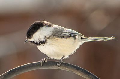 S117-Colour 1-Bob Poole-Black capped Chickadee