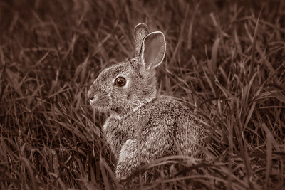 L2-Mono-J Berthman-Young Cottontail