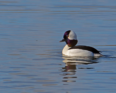 S15-Colour03-wayne-adams-bufflehead