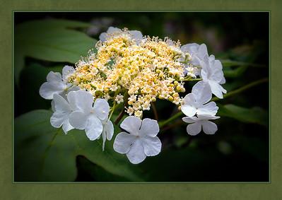 L2-Clr-J Berthman-Popcorn Blossoms-6
