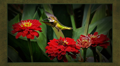 L1-Clr-D Berthman-Ruby Throated Hummingbird-6