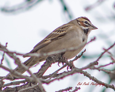 S117_CFR6_Bob Poole_Lark Sparrow