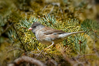 Bruce Leppky_Dark-Eyed Junco in my yard