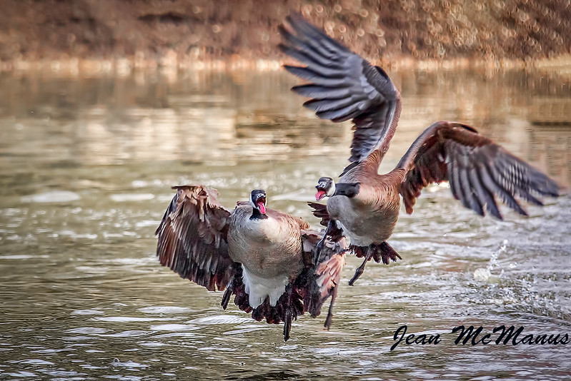 JEan McManus Geese Canada StVitalDP 15-1014 24.jpg
