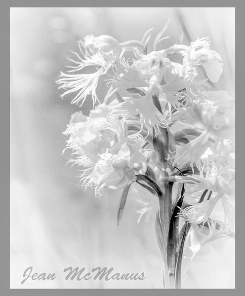 JEan McManus Orchids Fringed TGPrairie 16-6905 no fly bwMCC 2.jpg