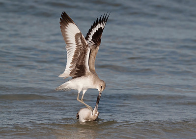 Fighting Willets