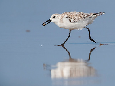 Running Sanderling with Sea   Slater